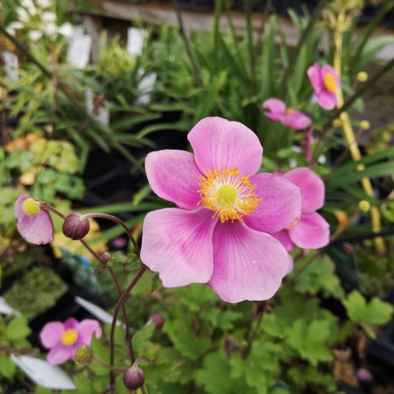 Anemone hupehensis Splendens / Anemone