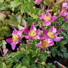 Anemone japonica Fantasy Red Riding Hood - Høstanemone