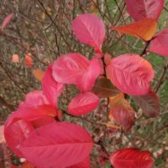 Aronia melanocarpa - Sortfrugtet Surbær