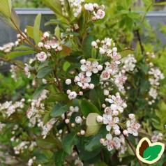 Aronia arbutifolia Brilliant - Surbær