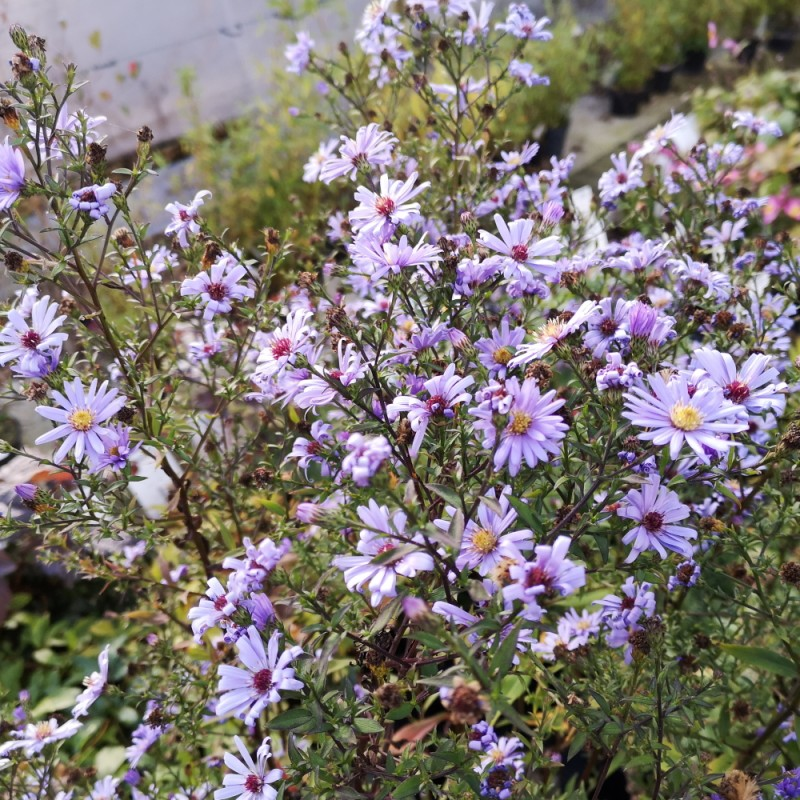 Aster cordifolius Little Carlow - Hjertebladet Asters