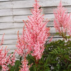 Astilbe arendsii Look at Me / Astilbe