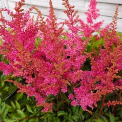 Astilbe arendsii Younique Lilac - Astilbe