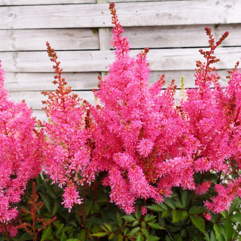 Astilbe arendsii Younique Pink - Astilbe
