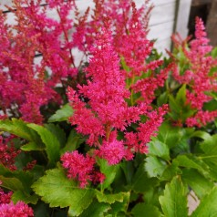 Astilbe arendsii Younique Ruby Red - Astilbe