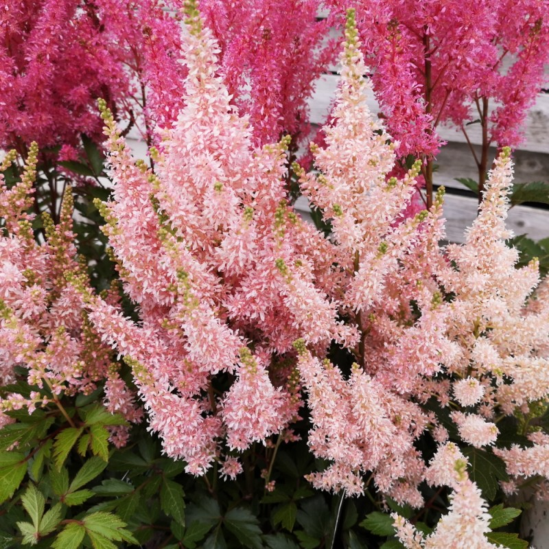 Astilbe arendsii Younique Salmon - Astilbe