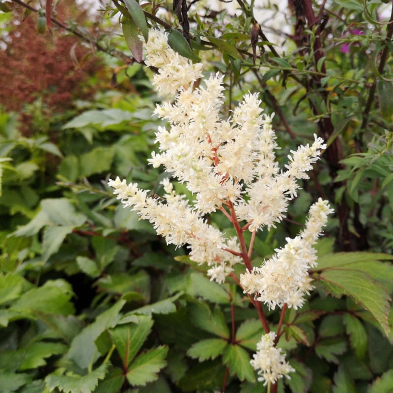 Astilbe arendsii Younique White - Astilbe