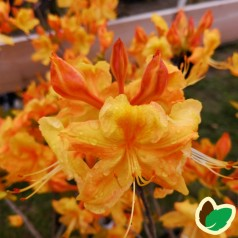 Rhododendron knaphill Golden Sunset - Haveazalea