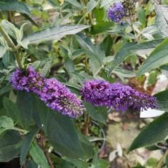 Buddleja davidii Empire Blue / Sommerfuglebusk