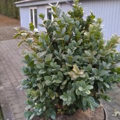 Buxus sempervirens Blauer Heinz - Buksbom / 20-25 cm.