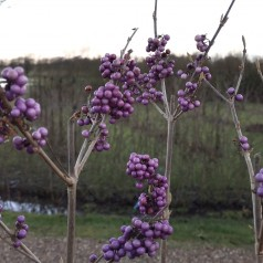 Callicarpa bodinieri Profusion / Glasbær