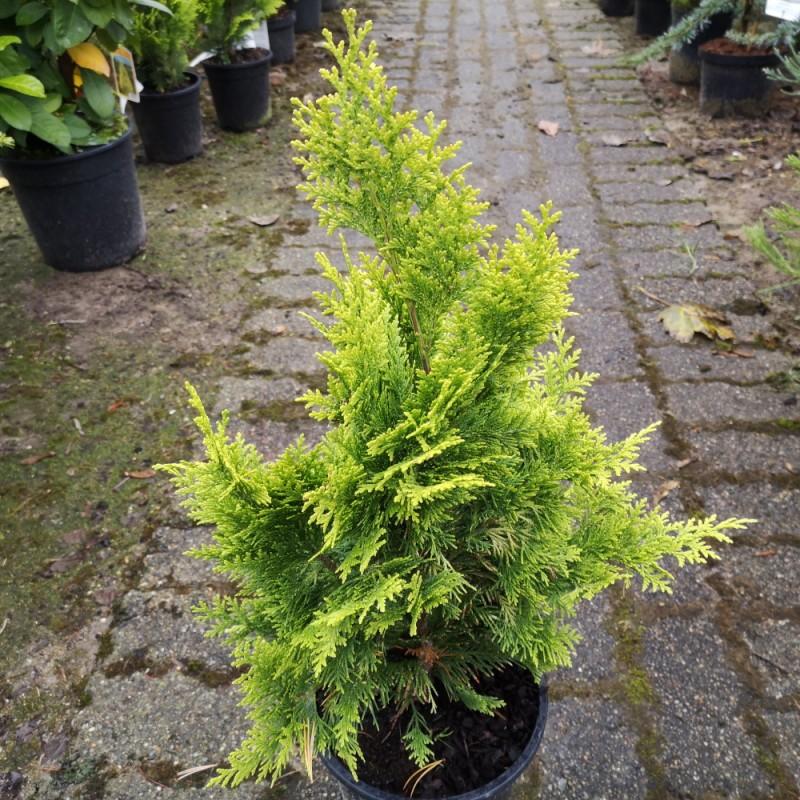 Chamaecyparis lawsoniana Ivonne - Cypres / 30--40 cm.