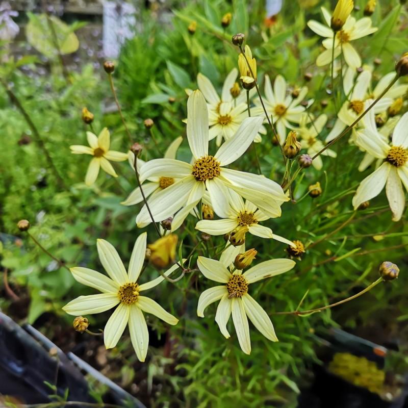 Coreopsis verticillata Moonbeam / Skønhedsøje