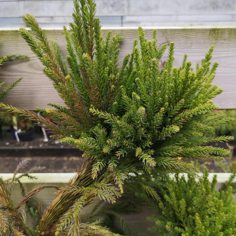 Cryptomeria japonica Cristata - Hanekams Kryptomeria / 40-50 cm.