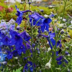 Delphinium grandiflorum Blauer Zwerg / Ridderspore