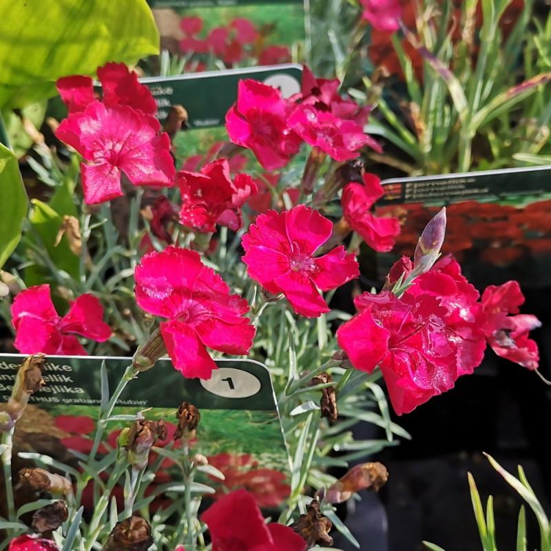 Dianthus gratianopolitanus Rubin / Pudenellike