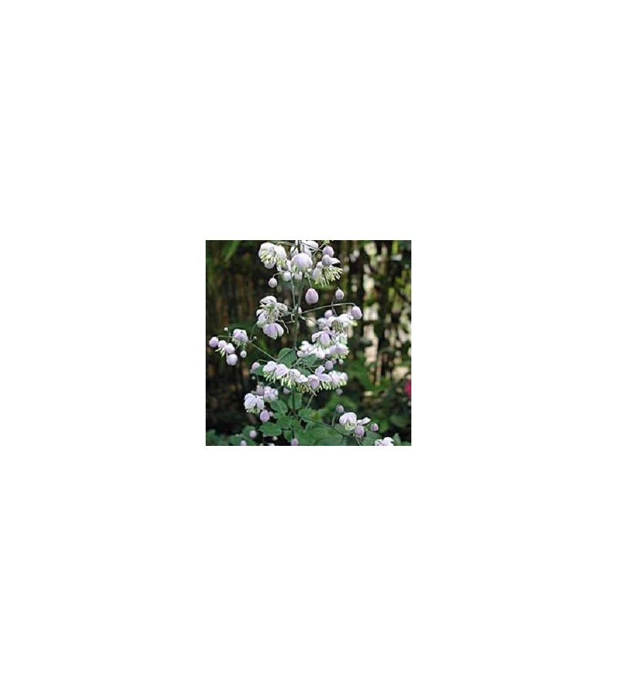 Thalictrum delavayi / Violfrøstjerne