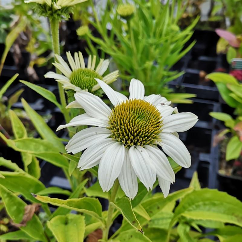 Echinacea purpurea SunSeekers White- Purpursolhat