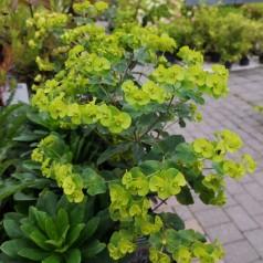 Euphorbia amygdaloides Purpurea / Vortemælk