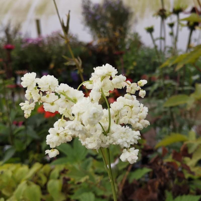 Filipendula vulgaris Plena / Knoldet Mjødurt