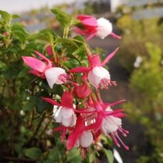 Fuchsia magellanica Lady Thumb / Havefuchsia