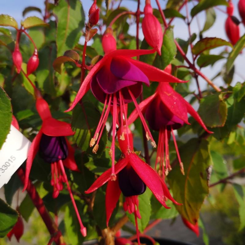 Fuchsia magellanica Mrs Poppel / Havefuchsia