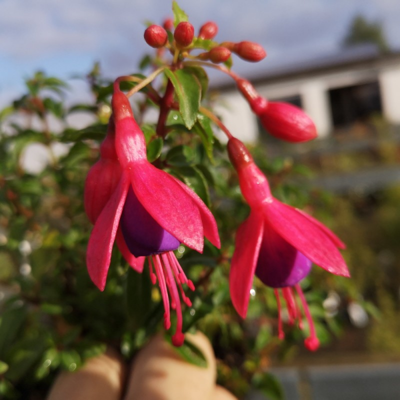 Fuchsia magellanica Tom Thumb / Havefuchsia