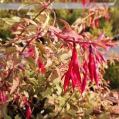 Fuchsia magellanica Tricolor / Havefuchsia