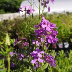 Hesperis matronalis / Natviol