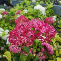 Hydrangea arborescens Pink Annabelle - Træagtig Hortensia