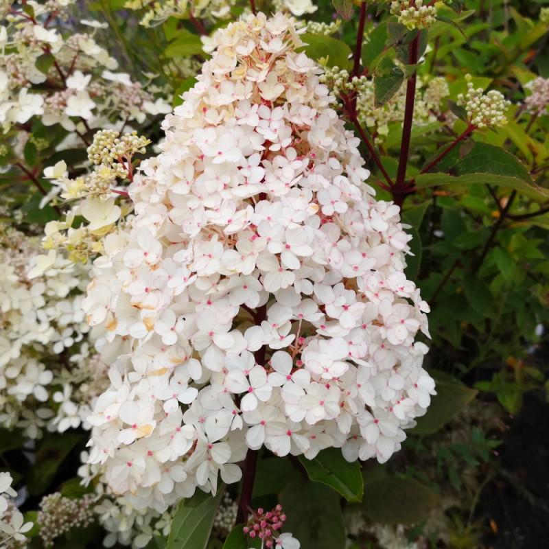 Hydrangea paniculata Pinky Winky - Træagtig Hortensia / 90 cm. stamme.