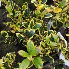 Ilex aquifolium Golden King - Kristtorn