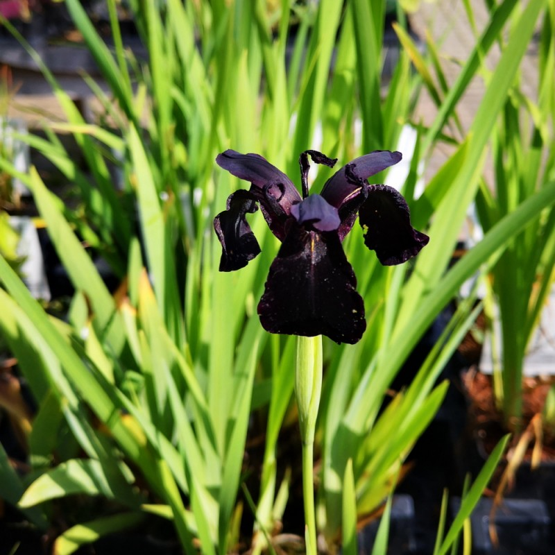 Iris chrysographes Black Form / Iris