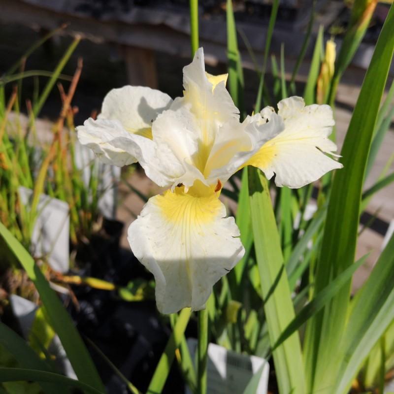 Iris sibirica Snow Queen / Sibirisk Iris