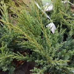 Juniperus chinensis Blaauw - Enebær / 20-25 cm.
