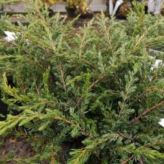 Juniperus communis Repanda - Krybende Ene