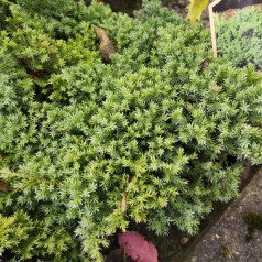 Juniperus procumbens Nana / Enebær