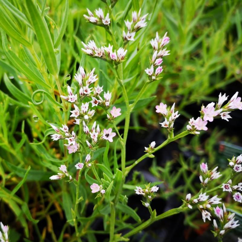 Limonium latifolium / Hindebæger / Statice