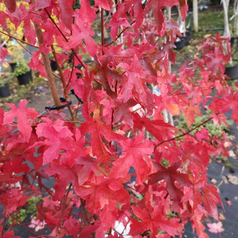 Liquidambar styraciflua - Ambratræ