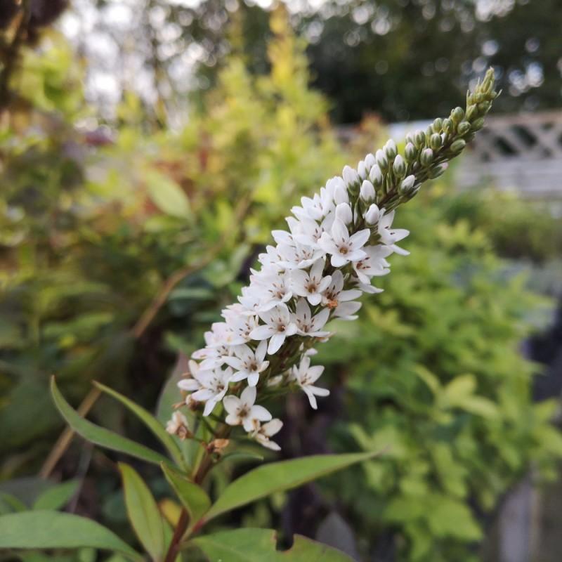 Lysimachia clethroides / Hvid Fredløs