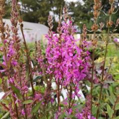 Lythrum Salicaria / Kattehale