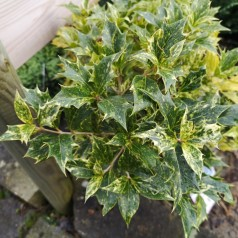 Osmanthus heterophyllus Goshiki - Djævlebusk