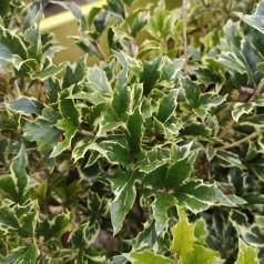Osmanthus heterophyllus Variegatus - Djævlebusk