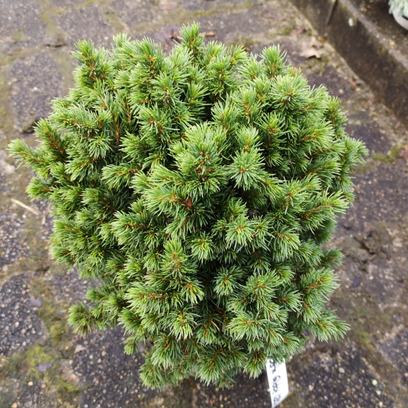 Picea glauca Alberta Globe - Dværggran