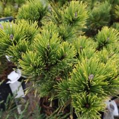 Dværgfyr Gul nålet - Pinus mugo Carstens Wintergold (Carsten)