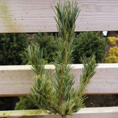 Penselfyr - Pinus parviflora Blue Giant 30-40 cm.
