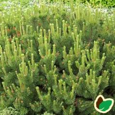 Dværgfyr - Pinus mugo Pumilio
