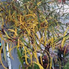 Rhamnus frangula Asplenifolia / Trådbladet Tørstetræ