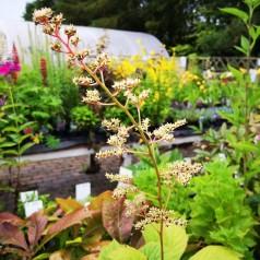 Rodgersia podophylla / Bronzeblad
