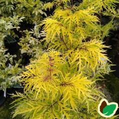 Sambucus racemosa Lemony Lace - Gul Fligbladet druehyld